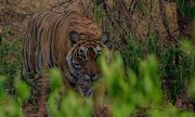 Video: Hổ đói cú tiết vì bị đàn voọc phá đám trong lúc săn mồi