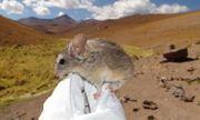 Loài chuột bí ẩn trên đỉnh núi lửa khiến giới khoa học đau đầu vì không biết chúng ăn gì để sống