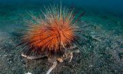 Video: Cua ì ạch cõng nhím biển trên lưng để làm lá chắn ngụy trang