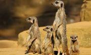 Video: Cầy vằn mẹ hung hăng đuổi đánh, trục xuất 4 con gái ra khỏi đàn