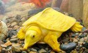 Thanh Hóa: Bắt được con vật giống ba ba, màu vàng óng rất lạ