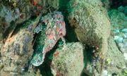 """Video: Bầy cá mặt quỷ phô diễn khả năng tàng hình """"thần sầu"""" dưới đáy đại dương"""