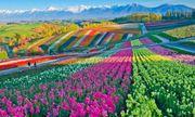 Những cánh đồng hoa đẹp nhất thế giới bắt đầu nở rộ