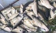 Xác định nguyên nhân hàng tấn cá chết trắng trên sông Mã