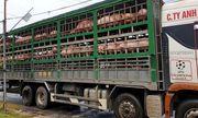 Phát hiện 2 ô tô chở 342 con lợn không rõ nguồn gốc, trị giá gần 2 tỷ đồng