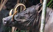 Cận cảnh loài lợn không có lông, kỳ lạ nhất trong giới hoang dã