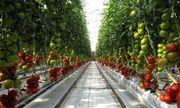 Australia: Trồng cà chua trên sa mạc cho thu hoạch 17.000 tấn mỗi năm