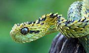 Video: Cận cảnh loài rắn có vảy nhọn hoắt, trông giống rồng một cách kỳ lạ