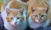 Nhà khoa học Nhật Bản tuyên bố virus SARS-CoV-2 có thể lây nhiễm từ mèo sang mèo