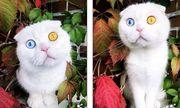 Tin tức đời sống mới nhất ngày 22/5/2020: Độc đáo chú mèo có 2 màu mắt một xanh một vàng