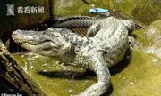 Cá sấu huyền thoại từ thời Thế chiến II qua đời vì tuổi già