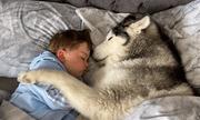 Video: Lịm tim trước cảnh chó Husky không chịu rời giường vì muốn nằm cạnh em bé