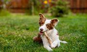 Video: Chú chó thông minh, học được cách cho bò ăn cỏ