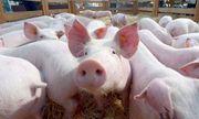 Bộ Nông nghiệp đồng ý đề xuất nhập khẩu lợn sống đẻ bình ổn giá thịt trong nước