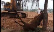 Thanh Hóa: Điều tra vụ 2 người lạ mặt xuất hiện, 4 con bò bỗng sùi bọt mép, lăn đùng ra chết