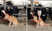 Video: Chú mèo đáng yêu được đàn bò sữa thi nhau