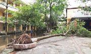 Hà Nội: Cây xà cừ trong cơ sở giáo dục bật gốc đổ sau trận mưa lớn
