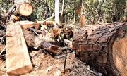 Đắk Lắk chỉ đạo điều tra, xử lý tình trạng phá rừng pơmu