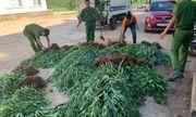 Người đàn ông trồng 500 cây cần sa rải rác trên 1ha đất rẫy cà phê khai gì?
