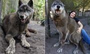 Video: Kích thước khổng lồ của sinh vật lai giữa sói xám, chó chăn cừu Đức và Husky Siberia