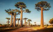 Video: Mục sở thị những cây bao báp khổng lồ 800 tuổi