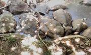 14 con trâu trị giá hàng trăm triệu đồng bỗng lăn đùng ra chết, nghi bị kẻ gian đầu độc