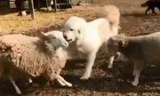 Video: Hai con cừu xông vào đánh nhau, chó bất ngờ lao tới can ngăn