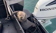 Video: Bị cá voi sát thủ truy đuổi ráo riết, rái cá vội vã leo lên thuyền để trốn