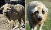 Chuyện lạ: Giống lợn đặc biệt có lông xù hệt cừu nhưng tính cách giống loài chó