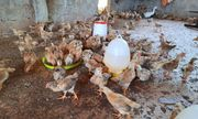 Để vợ nhận 1.000 con gà giống, Phó Chủ tịch xã bị kiểm điểm