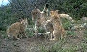 Video: Những hình ảnh cực hiếm về loài mèo núi bí ẩn trên dãy Kỳ Liên Sơn