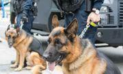 Dubai huấn luyện chó đánh hơi người nhiễm SARS-CoV-2, kết quả chuẩn tới 91%
