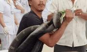 Vụ tay không bắt hổ mang chúa 2,5 mét, người đàn ông