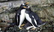 Video: Đôi chim cánh cụt đồng tính lần đầu tiên lên chức mẹ