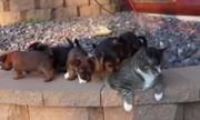 """Video: Con mèo béo ú """"kiên nhẫn nhất thế gian"""", cam chịu để 8 chó con"""