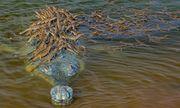 Khoảnh khắc tuyệt đẹp: Đàn cá sấu con bám chi chít trên lưng cha để cùng vượt sông
