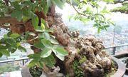 Chiêm ngưỡng cây ổi bonsai tiền tỷ thế độc lạ khiến nhiều người mê mẩn của vị đại gia ngành nhựa
