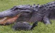 Video: Cú thoát hiểm ngoạn mục của rùa từ hàm cá sấu
