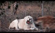 Video: Chuẩn bị thưởng thức bữa ăn thịnh soạn, sư tử trắng bị đàn linh cẩu đến