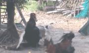 Video: Vịt hung hăng lao vào \