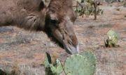 Video: Vì sao lạc đà có thể nhai xương rồng đầy gai nhọn, dài đến 15cm?