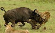 Video: Bị sư tử cướp con non, trâu rừng nổi cơn thịnh nộ