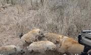 """Video: Cặp sư tử vẫn bị loài vật này """"nẫng"""" mất mồi ngon một cách trắng trợn"""