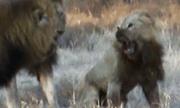 Video: Bị đồng loại tấn công, sư tử tưởng sẽ chết, không ngờ lại được con vật này cứu mạng