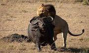Video: Cuộc chiến sinh tử giữa trâu rừng gãy chân và 3 sư tử đực, kỳ tích có xuất hiện?