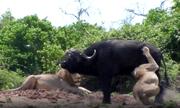 Video: Rơi vào thế gọng kìm của sư tử, trâu rừng quyết