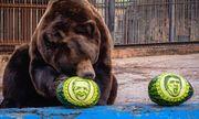 Video: Gấu và hổ