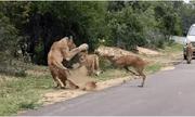 Video: Đụng độ đàn sư tử trên đường, linh dương nhận cái kết bi thảm