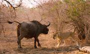 Video: Bị tấn công, trâu rừng quay lại hạ gục sư tử