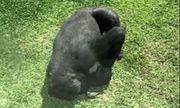 Phản ứng đáng yêu của chú khỉ đột khi gặp một con chim bị thương